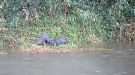 2 otters eating salmon on riverbank