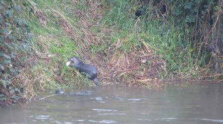 alsea river otter eating