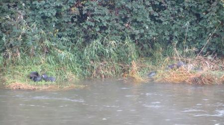5 otters eating salmon on alsea river