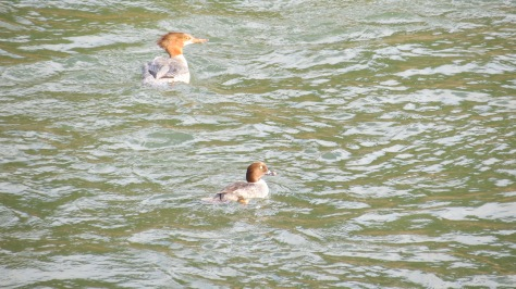 top: female common merganser;  bottom: female goldeneye