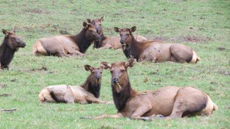 roosevelt elk cows and calf