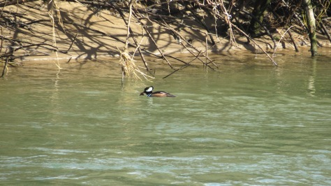 Hooded Merganser eating crawdad