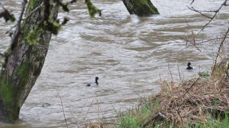 scaups fish alsea river banks