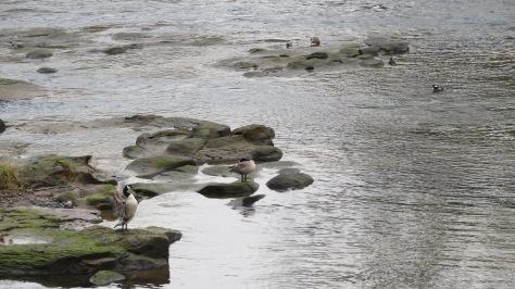 Canada Goose Couple