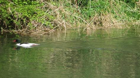 Male Common Merganser