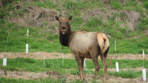 Elk screaming
