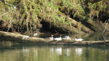 common mergansers on log