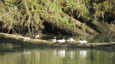 common mergansers on log