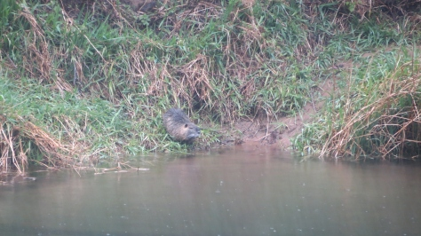Nutria on riverbank