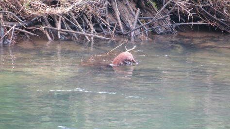 mink looking under water