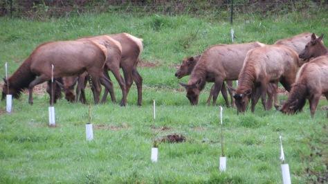 Bull elk shed his antlers