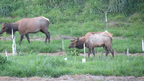 Bull Elk Calf