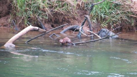 mink swimming