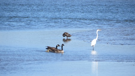 canada goose, great white egret, mallard
