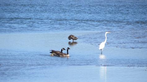 canada goose, great white egret, mallard