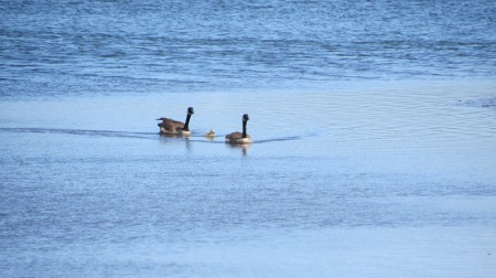 canada goose couple with one chick