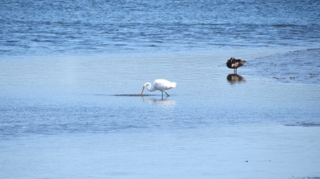 Great White Egret and Mallard hen