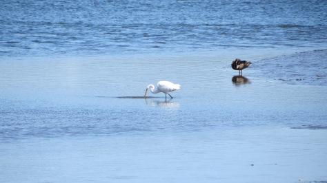 Great White Egret and Mallard hen