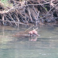 First time I've seen this critter on the Alsea River
