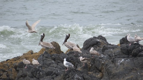 Brown Pelicans fishing off Yachats River