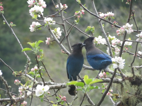 Stellar Jays on Apple Tree