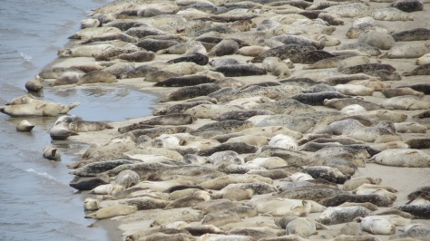 Wall-to-wall seals in Alsea Bay
