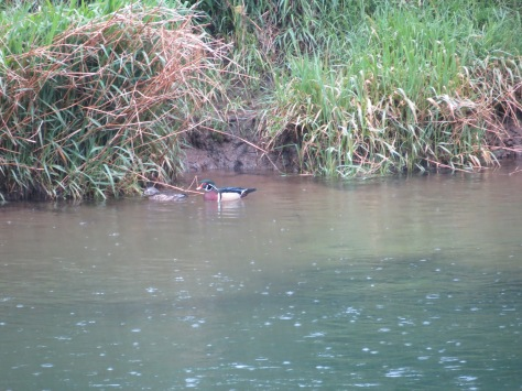 Wood Ducks in Tidewater