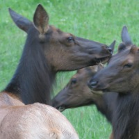 Yearling elk getting their antlers
