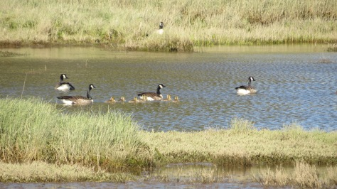 canada geese with 7 chicks