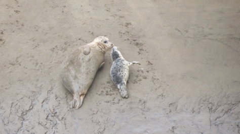 seal pup kiss