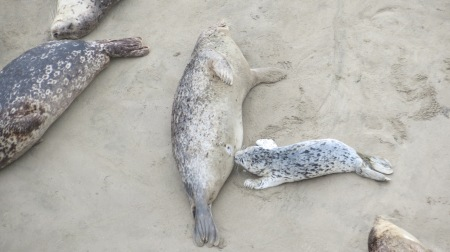 sloppy seal nursing