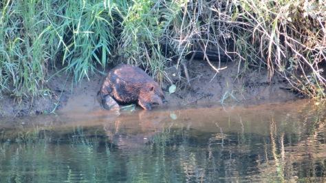 alsea river beaver