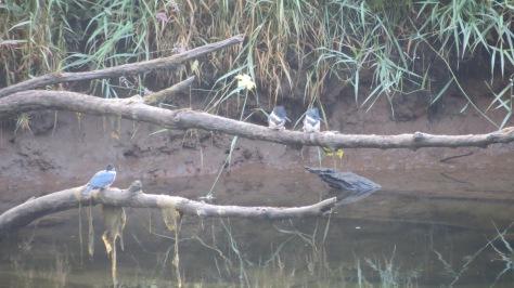 3 kingfishers