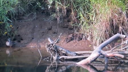 mallard ducks on alsea river
