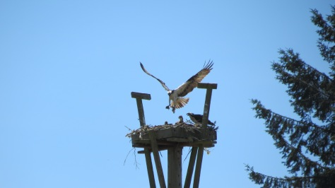 osprey feeding chicks