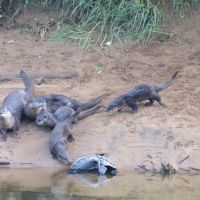 Otter family on the Alsea