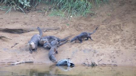 Otter family on Alsea River
