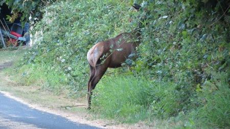 elk in blackberries