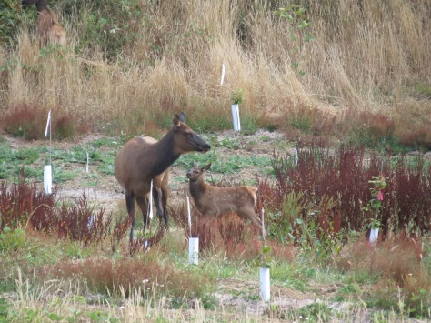 elk cow and calf