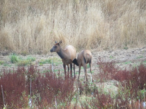 Elk Yearling Nursing
