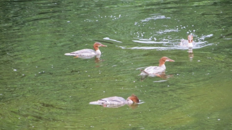 merganser siblings