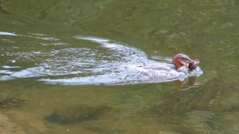 merganser with fish