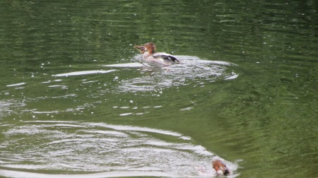 2 Mergansers each have a fish