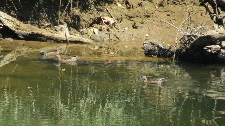 Young Wood Ducks