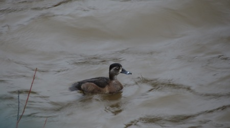 Ringnecked Duck - female