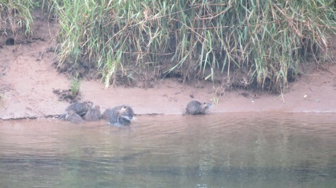 Nutria-family-exploring