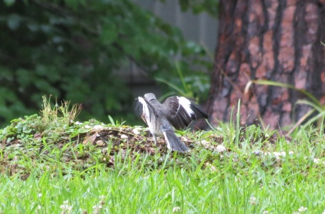 Mockingbird fledgling