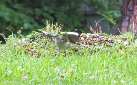 mockingbird fledgling trying to fly