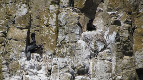 Cormorant chicks on the nest