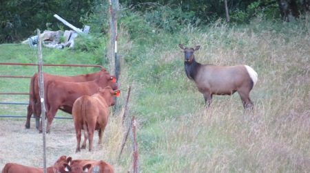 elk and cows have conversation